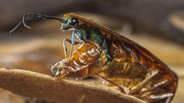 Emerald Cockroach Wasp Ampulex compressa adult female emerging from dead body American Cockroach Periplaneta americana after it